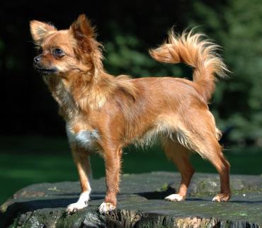 Chihuahua1_bvdb