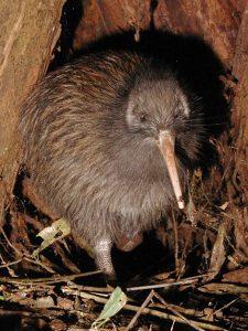 brown-kiwi-apteryx-mantelli